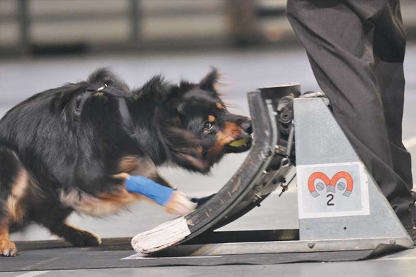 Flyball racing at Birmingham Tattoo